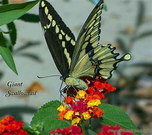 Giant Swallowtail Butterflies Spread Excitement North ...
