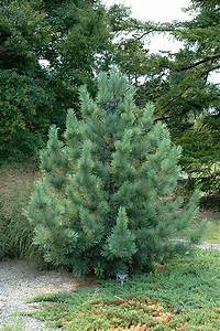 Morris Blue Korean Pine (Pinus koraiensis 'Morris Blue