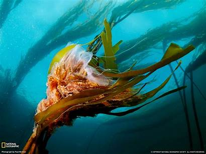 Geographic National Famous Wallpapers Jellyfish Geo Nat
