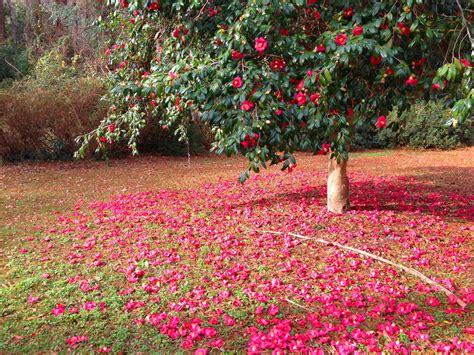 grow camellias  garden  eaden