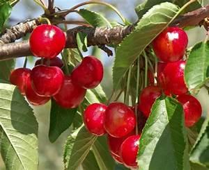 Planter Un Cerisier : planter un cerisier gamm vert ~ Melissatoandfro.com Idées de Décoration