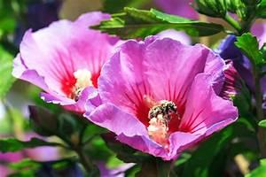 Portulak Pflanzen Kaufen : hibiskus standort garten ~ Michelbontemps.com Haus und Dekorationen