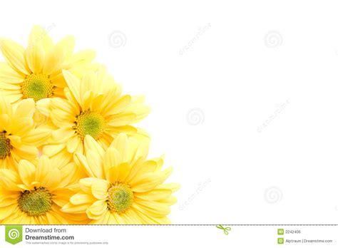 yellow daisies corner royalty  stock image image