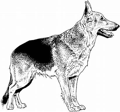 Coloring Shepherd German Dog Weiss Schwarz Hund