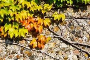 Wilder Wein Vermehren : wilder wein die sorten im berblick ~ Orissabook.com Haus und Dekorationen