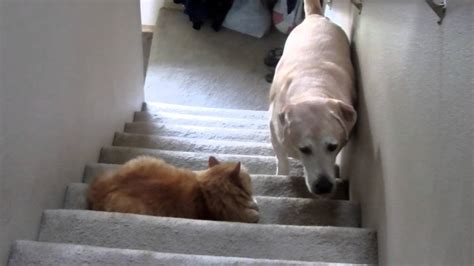 cats dogs dog afraid scaredy walking cat scared funny terrified compilation past stairs pass scary why walk most w8e cute