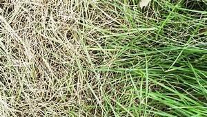 Quecke Im Rasen : wie gelber rasen wieder sch n gr n wird ~ Lizthompson.info Haus und Dekorationen