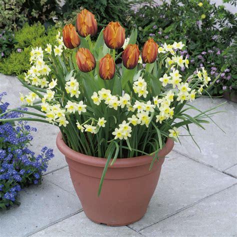 plant o tray patio preplanted bulbs tulip narcissus