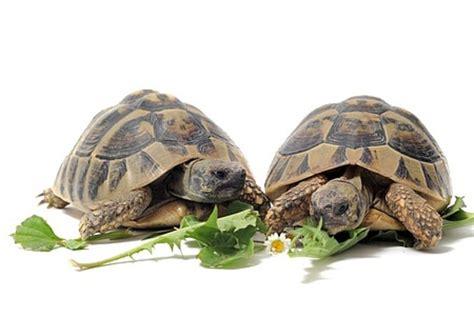 tortoise care