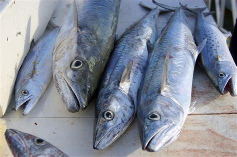 mackerel spanish king gulf mexico waters gulfcouncil