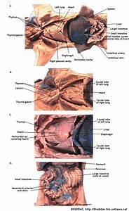 What Is Covering Fetal Pig U0026 39 S Intestines