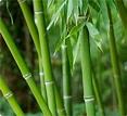 Usui Shiki Ryoho: A Sabedoria que vem do bambu chinês