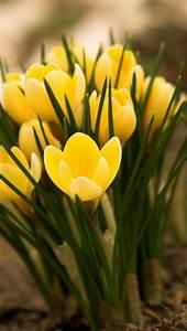 Was Sind Frühlingsblumen : welche fr hlingsblumen bl hen wann ~ Whattoseeinmadrid.com Haus und Dekorationen