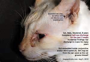 cat eye infection kitten nganu
