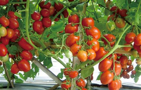 budidaya tomat polybag mudah tanaman hias