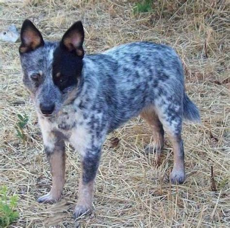 Miniature Blue Heeler Shedding by 1000 Images About Dogs World On Pitbull