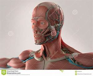 Human Anatomy Showing Face  Head  Shoulders And Chest