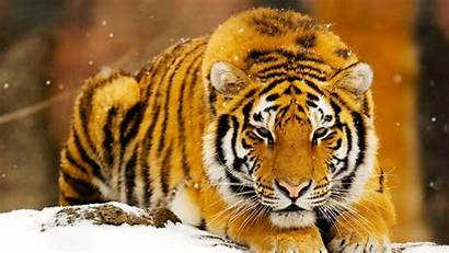 Bengala Tigre Wallpapers Tiger Tigres Fondos Pantalla