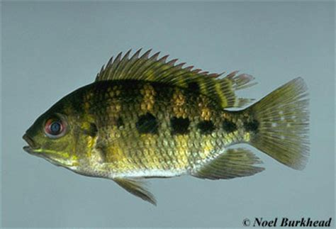 tilapia mariae discover fishes