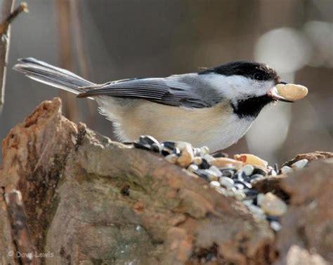 Identify Backyard Birds by How To Identify 20 Winter Backyard Birds At Your Feeders