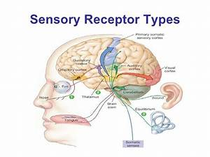Tousif, role of receptors