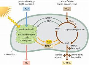 What Kind Of Energy Is Needed For Photosynthesis To Occur
