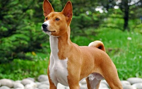 25 most dangerous dog breeds tail and fur