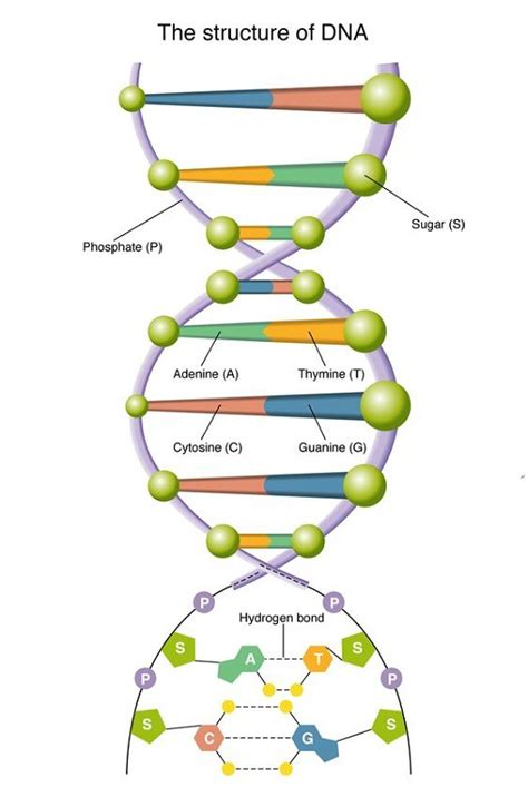 diagram of dna to print diagram site