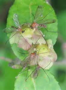 Washington Strawberry Pests Insects