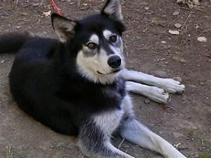 Wolf Husky Hybrid | www.pixshark.com - Images Galleries ...
