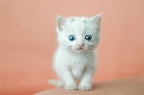 40 Insanely Adorable White Kittens To Make Your Day
