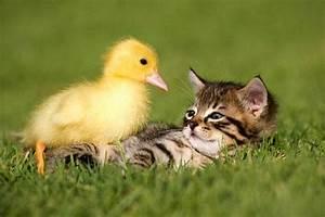 Kitten Befriends Duckling - Love Meow