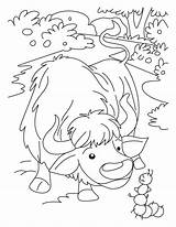 Yak Coloring Pages Printable Animal Farm Colouring Animals Print Folk Down Baby Again Bar Yaks Looking Case Don Find sketch template