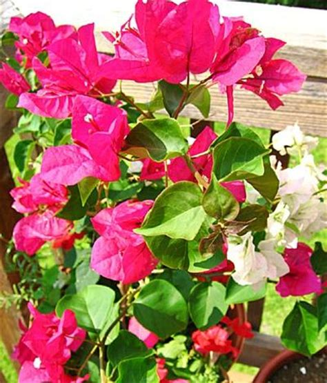 bougainvillea care and into a standard tree form infobarrel