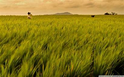 Rice Field Philippines 4k Background Wallpapers Ultra