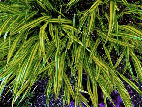 growing golden japanese forest grass
