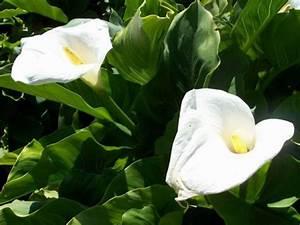 Calla Pflanze Giftig : bilde hage blomster calla lilje arum lilje hvit ~ Frokenaadalensverden.com Haus und Dekorationen