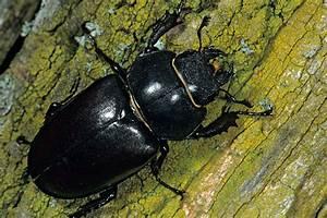 Schwarze Käfer Im Garten : der hirschk fer nabu ~ Lizthompson.info Haus und Dekorationen