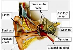 1 2 Sense Of Hearing