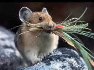Rodent Pika Animal