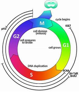 Cell Cycle Labelling  Schematic Representation Of The Cell