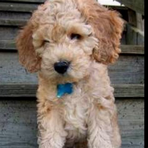 cockapoo they don t shed i want one lenny pups