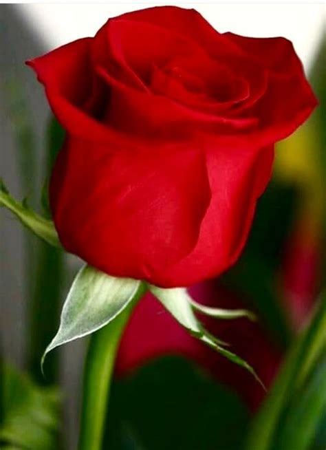pin de marito hernandez farfan en rosas hermosas rosas