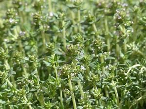 Petunien Samen Kaufen : thymian samen kaufen pflanzen ab 0 89 ~ Frokenaadalensverden.com Haus und Dekorationen