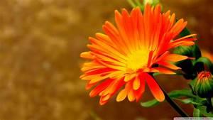 Orange Flower wallpaper - 832783