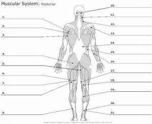 Muscle Worksheet