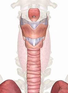 Larynx Anatomy And Physiology