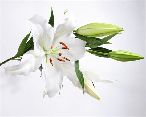 Pics Of White Tiger White Lily Www Pixshark Com Images Galleries With A Bite