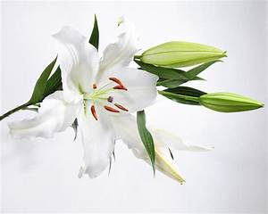 White Lily And Buds Photograph by James Forte