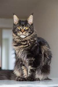 Maine coon kitten 8 months brown tabby blotched ...